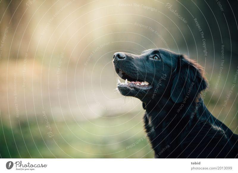 Paula Pt.3 Haustier Hund Tiergesicht Fell 1 beobachten hocken warten Freundlichkeit weich schwarz Freude Lebensfreude Neugier Labrador-Retriever Farbfoto