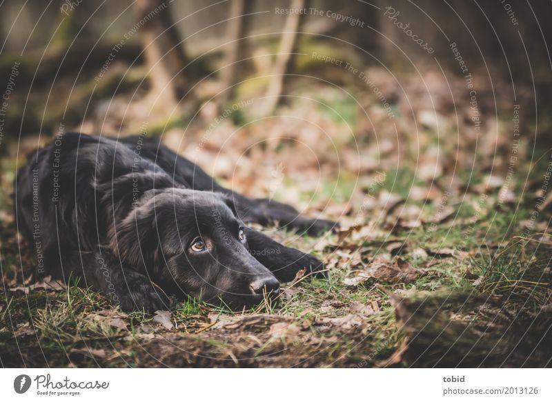 Paula Pt.2 Natur Pflanze Erde Wald Haustier Hund Tiergesicht Fell 1 beobachten liegen ruhig schwarz Labrador-Retriever Blatt Gras Pfote Pause Farbfoto