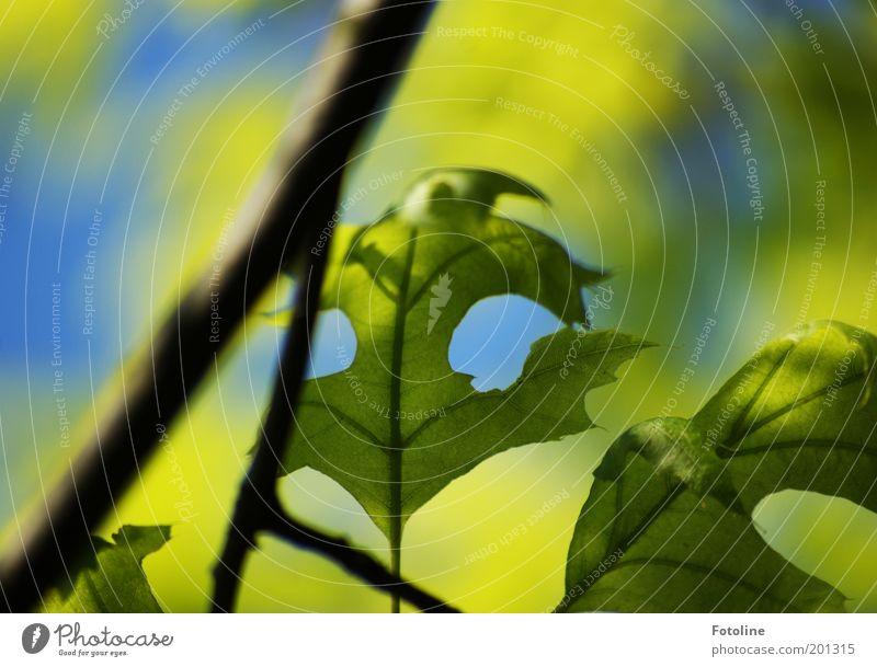 frisches Grün Natur Baum grün blau Pflanze Blatt Frühling Wärme hell Umwelt Ast Eiche Licht Eichenblatt
