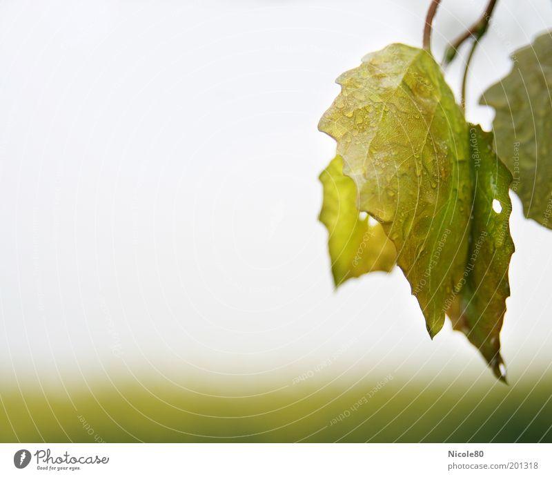 wet leaves Umwelt Natur Pflanze Wasser Wassertropfen Regen Blatt nass Sauberkeit gewaschen grün Farbfoto Außenaufnahme Nahaufnahme Detailaufnahme