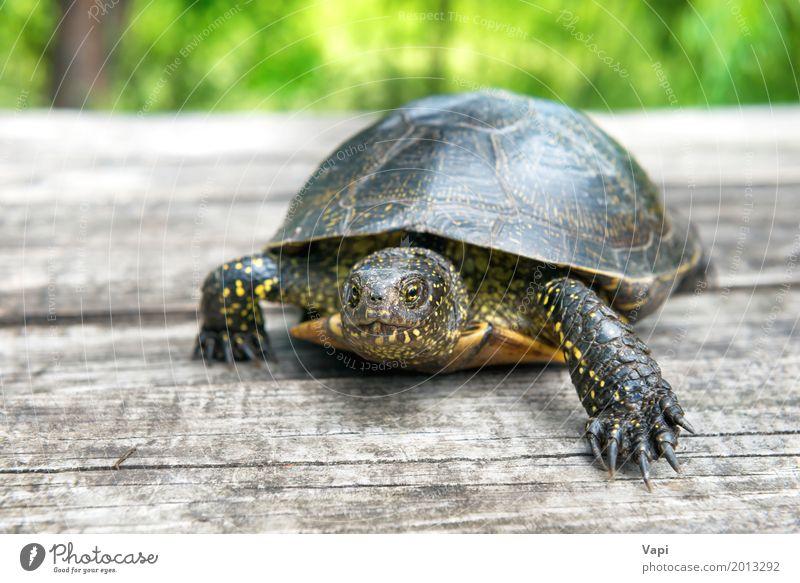 Große Schildkröte auf altem hölzernem Schreibtisch Natur Sommer grün weiß Sonne Tier Umwelt gelb Frühling natürlich Gras Holz klein Garten grau