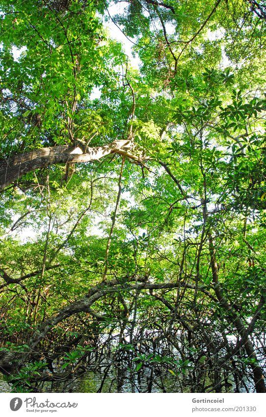 Bali Mangrove Umwelt Natur Pflanze Wasser Sommer Baum Urwald Seeufer grün Geäst Wurzel Blätterdach wild Wildnis Mangrovenwald Asien Farbfoto Außenaufnahme