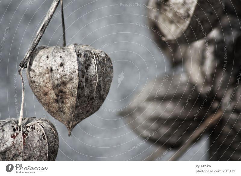 Bommel bommeln Natur alt Pflanze Blüte braun nah hängen Samen verblüht interessant Wildpflanze Kapsel