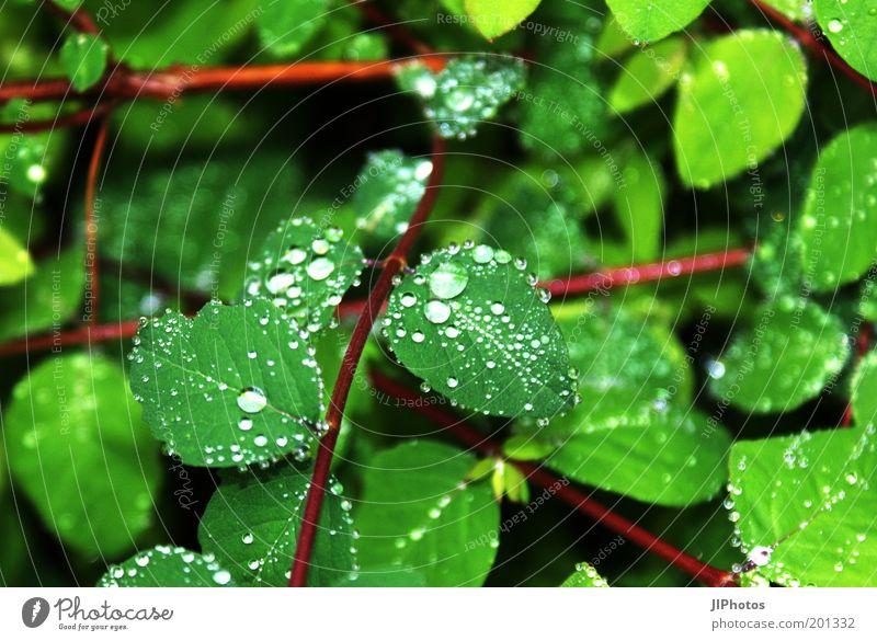 Faszination des Wassers Wassertropfen Regen Pflanze Sträucher Blatt Grünpflanze nass grün Farbfoto Außenaufnahme Detailaufnahme Menschenleer Tropfen hydrophob