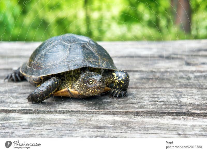 Große Schildkröte auf altem hölzernem Schreibtisch exotisch Sommer Haus Garten Tisch Natur Tier Sonnenlicht Frühling Baum Gras Park Wiese Wald Haustier 1 Holz