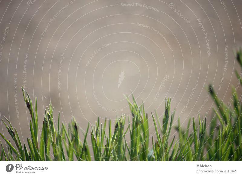 Spitzen-Bild Garten Umwelt Natur Pflanze Gras Grünpflanze Nutzpflanze Wiese Wachstum grün grau Farbfoto Außenaufnahme Textfreiraum links Textfreiraum rechts