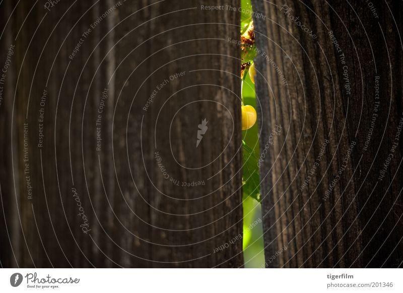 einen Blick auf eine Boo Cherry werfen Kirsche grün Zaun Riss Licht Lampe Holz Korn Natur unreif Single Hintergrundbild Textfreiraum links Schlitz Öffnung