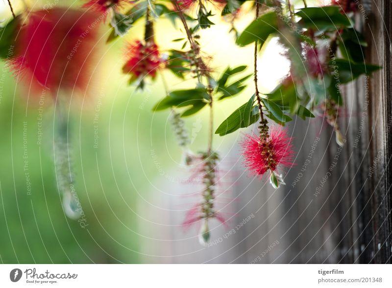 hängende Flaschenbürste im Wind Blume Bürste rot hellrot Zaun grün grün-rot erhängen Blatt Pflanze Baum Natur Zylinderputzer Sträucher bürsten wie Staubfäden
