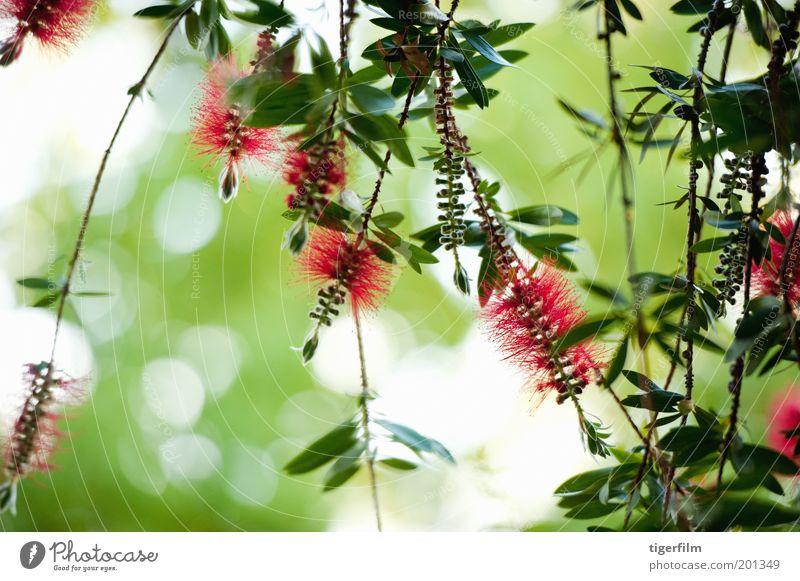 Flaschenbürstenblume gegen das Licht Blume Bürste rot hellrot grün grün-rot erhängen Wind Blatt Pflanze Baum Natur Zylinderputzer Sträucher bürsten wie