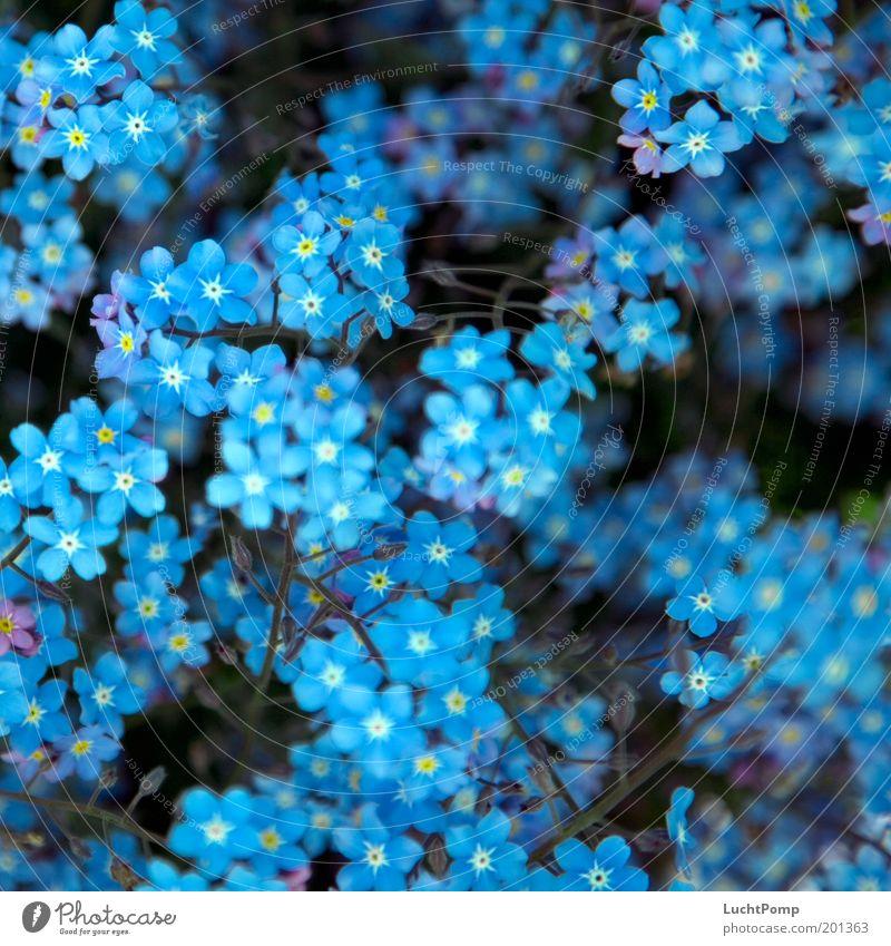 Vergiss. Mein. Nicht. Vergißmeinnicht Pflanze Blütenblatt Botanik Zweig Zweige u. Äste blau blau-weiß Blauton Garten Sommer Frühling Frühlingsgefühle