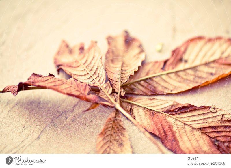 Herbst Natur Blatt kalt Stein braun rosa gold Ende Wandel & Veränderung dünn Vergänglichkeit Schönes Wetter vertrocknet Licht Kastanienblatt