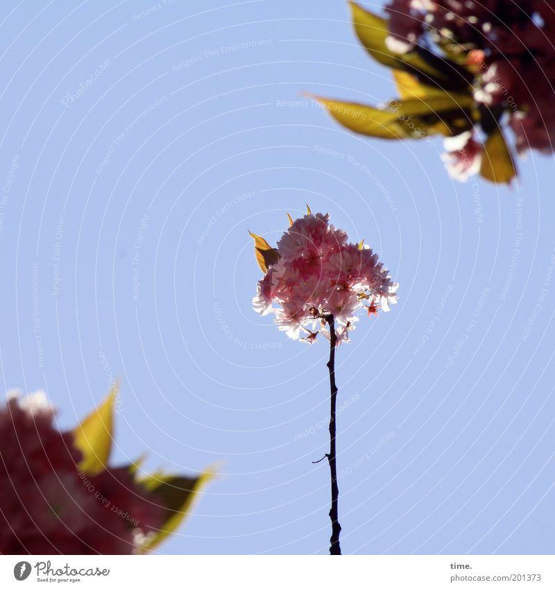 Kleinfamilie Himmel Baum Pflanze Blatt Blüte Frühling rosa frisch Wachstum Schutz Ast Kontrolle diagonal Tiefenschärfe Zweig Kirsche