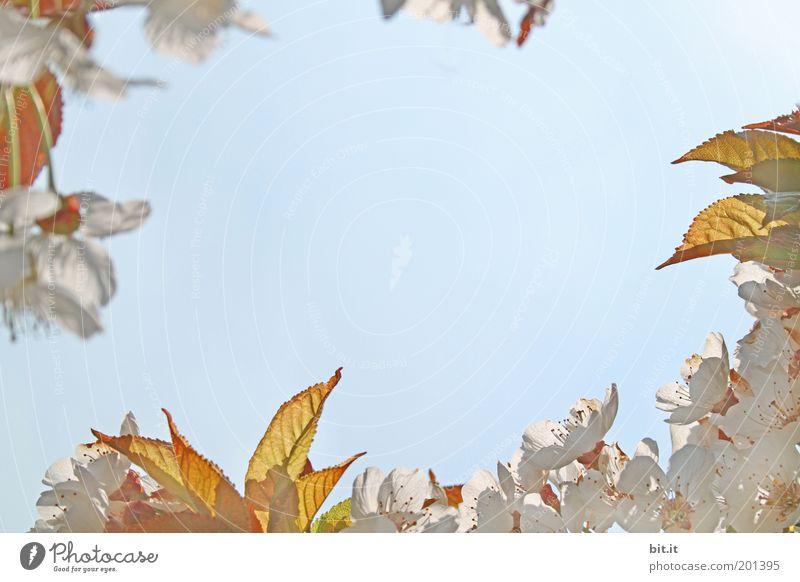Frühlingsgrüße 3 Natur Pflanze Luft Himmel Wolkenloser Himmel Blatt Blüte Blühend Kitsch blau gold weiß Kirschbaum Kirschblüten Kranz umrandet Rahmen