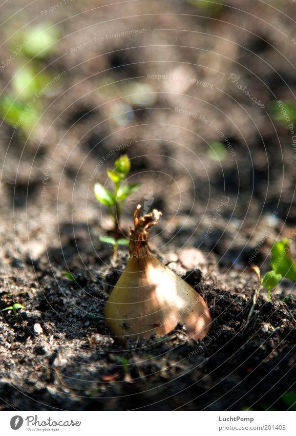 Zwiebelig Pflanze Garten braun Erde frisch Wachstum Boden Gemüse Mitte Landwirtschaft Ernte Ackerbau Arbeit & Erwerbstätigkeit Gartenbau Beet Gartenarbeit