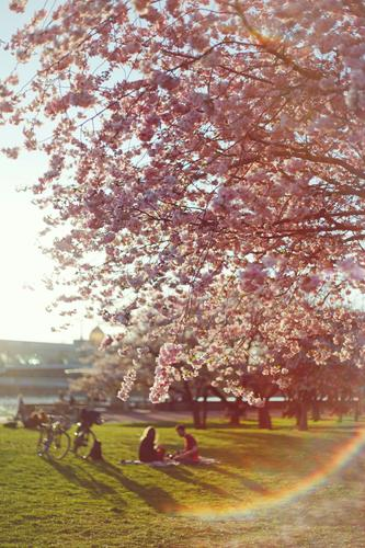 #AS# Einfach Draußen Natur Sonne Frühling rosa ästhetisch Idylle Blühend Fahrradfahren Romantik Dresden Picknick Frühlingsgefühle Blendenfleck Kirschbaum