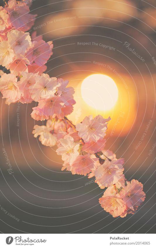 #AS# Sonnenblüte Natur ästhetisch Sonnenstrahlen Frühling Frühlingstag Frühlingsfarbe Blühend Blühende Landschaften Kirschblüten rosa Farbfoto mehrfarbig