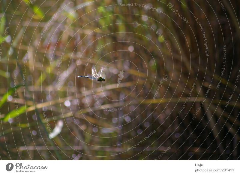 Libelle im Flug Natur grün blau Sommer Einsamkeit Tier Gras Bewegung Freiheit braun elegant fliegen Geschwindigkeit Sehnsucht geheimnisvoll natürlich