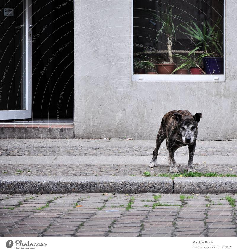 Ladenhüter Stadt Fassade Hund alt Armut Müdigkeit Dogge Aggression Blick grau ergraut Fenster Schutz Haushund Tür offen Bordsteinkante Kopfsteinpflaster Fell