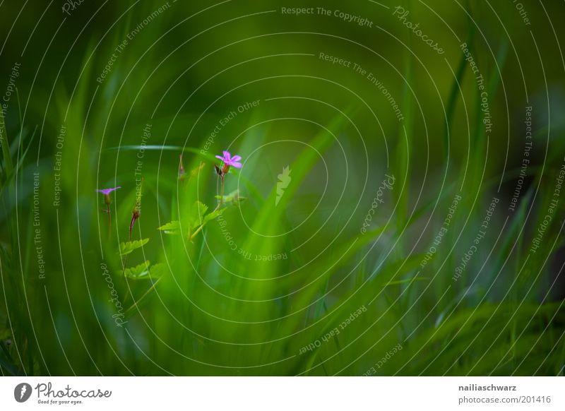 Frühlingsblume Umwelt Natur Pflanze Sommer Blume Gras Blüte Wildpflanze ästhetisch Duft grün violett rosa Leben Farbfoto mehrfarbig Außenaufnahme Menschenleer