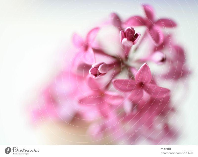 ein Hauch von nichts Natur Frühling Sommer Pflanze Blume rosa zart weich Fliederbusch Blütenblatt Farbfoto Innenaufnahme Unschärfe Menschenleer violett Duft