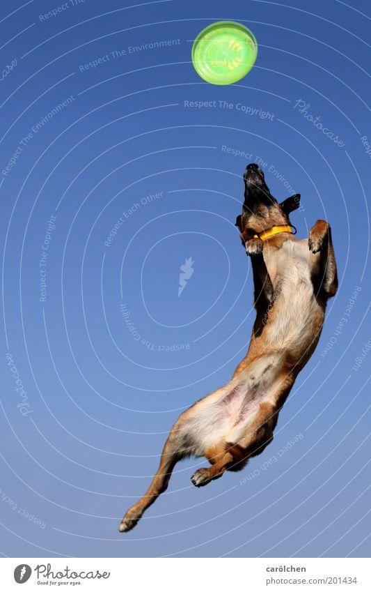 Kraftakt 50 Tier Haustier Hund 1 fangen fliegen springen verrückt blau grün Frisbee Hundesport Hundetraining Farbfoto Außenaufnahme Menschenleer