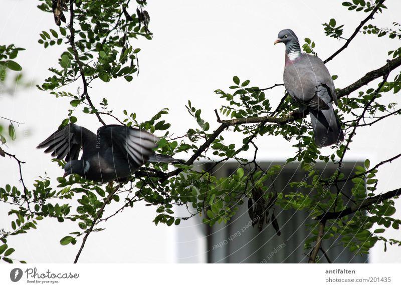 Szenen einer Ehe Umwelt Natur Tier Schönes Wetter Baum Blatt Mauer Wand Fenster Hinterhof Vogel Taube Tiergesicht Flügel Krallen 2 Tierpaar fliegen ästhetisch