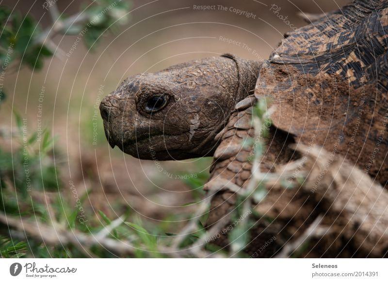 . Umwelt Natur Tier Wildtier Tiergesicht Schildkröte 1 nah natürlich Farbfoto Außenaufnahme Schwache Tiefenschärfe Tierporträt