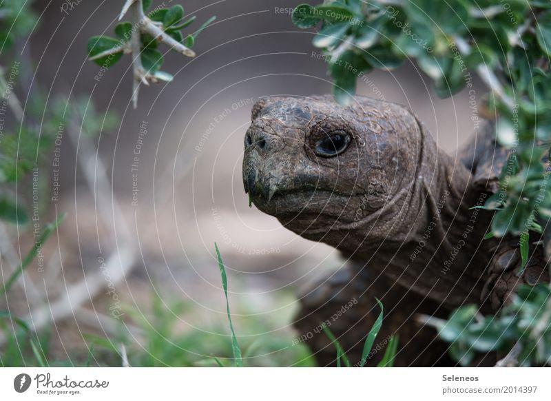 Kassiopeia Erholung ruhig Umwelt Natur Gras Sträucher Garten Park Wiese Tier Wildtier Tiergesicht Schildkröte 1 beobachten frei nah Farbfoto Außenaufnahme