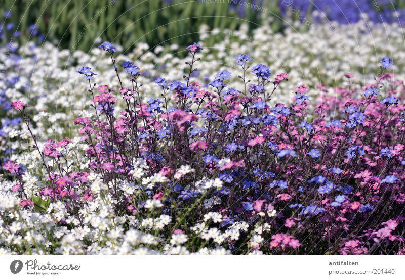 Blumenmeer Natur Pflanze Frühling Sommer Blüte Vergißmeinnicht Garten Park Blühend schön klein blau mehrfarbig grün violett rosa weiß Glück Fröhlichkeit