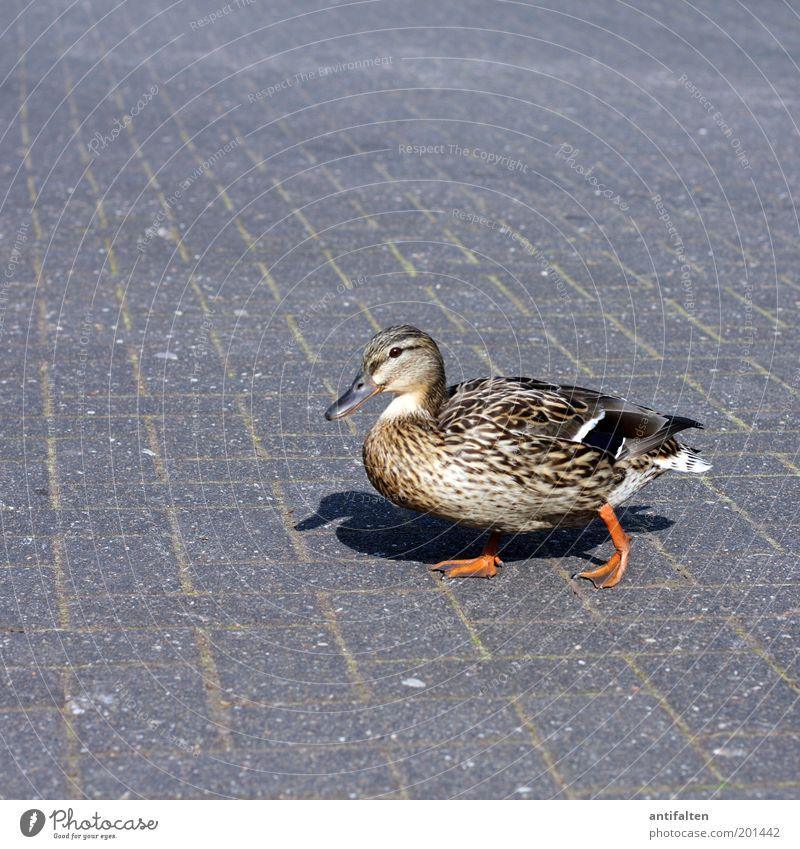 I'm walking... Sommer Tier Straße grau Wege & Pfade orange braun Vogel gehen laufen Fröhlichkeit Flügel beobachten Neugier Schönes Wetter Zoo