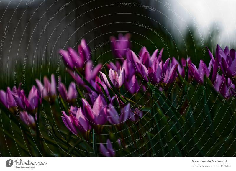 Erwachen Natur Blume grün Pflanze dunkel Blüte Frühling Garten Park rosa violett Neugier Duft Tulpe Zusammenhalt saftig