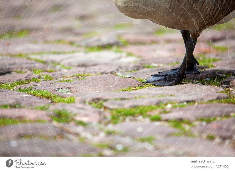Gänsefüße Natur grün Tier braun gehen Tierfuß Umwelt Wildtier Kopfsteinpflaster Haustier Gans Nutztier Wildgans