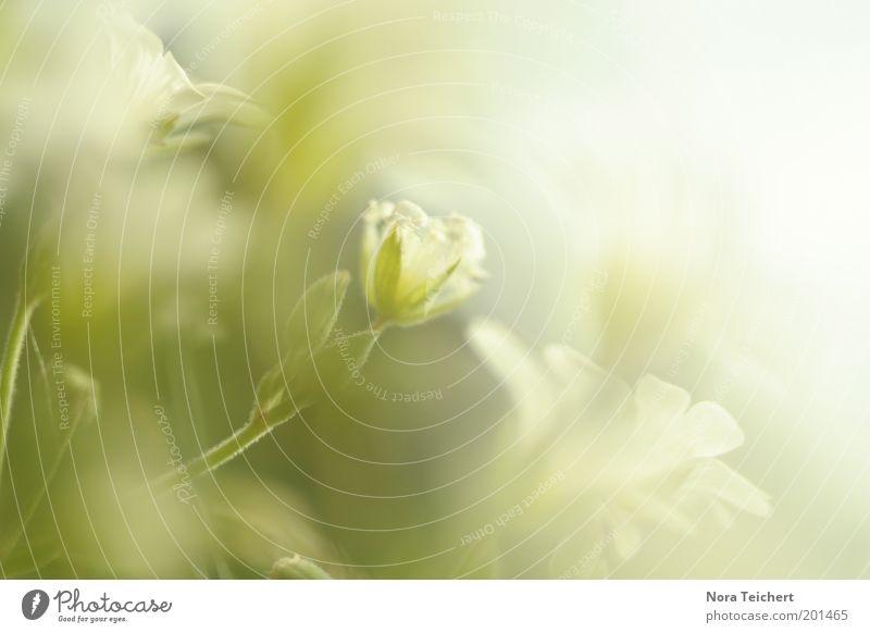 Glücksgefühle Natur schön weiß Blume grün Pflanze Sommer Wiese Blüte Gras Frühling Glück träumen Landschaft Stimmung Umwelt