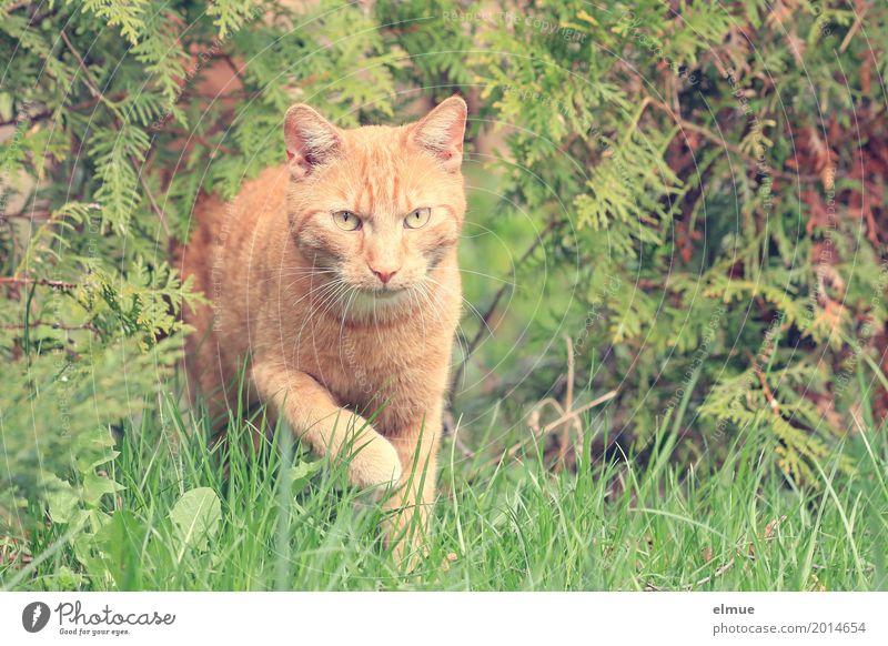 Nachbars Kater Garten Haustier Katze beobachten entdecken Blick ästhetisch Coolness elegant schön Neugier niedlich orange rot Sympathie Tierliebe Interesse