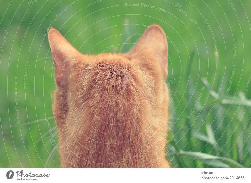 Zweiohrkater Katze rot orange elegant warten beobachten Neugier entdecken nah ausdruckslos Ohr Fell hören Konzentration Haustier Jagd