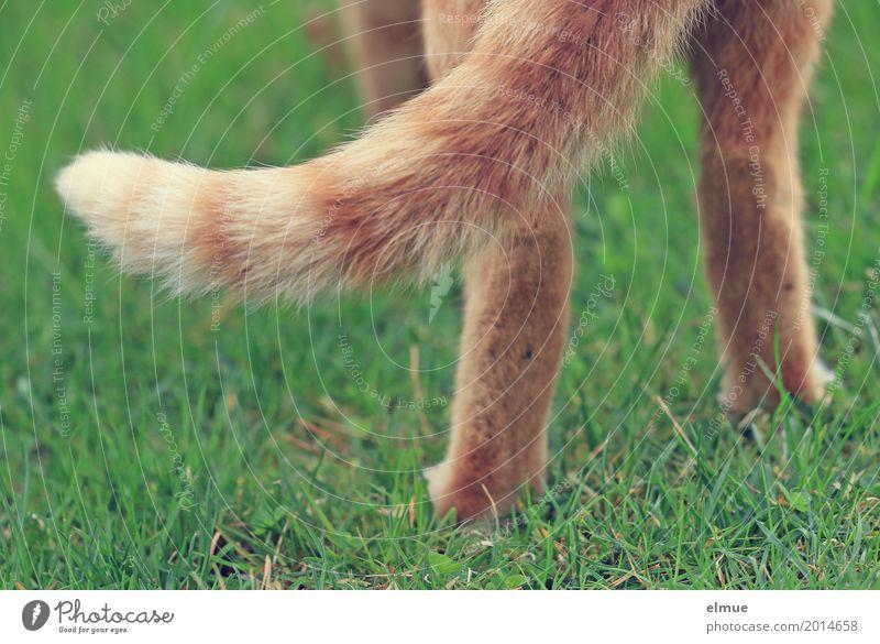 ... alles hat ein Ende Katze rot Wiese Glück orange Zufriedenheit elegant blond stehen Lebensfreude Romantik Coolness Sauberkeit Neugier Gelassenheit dünn