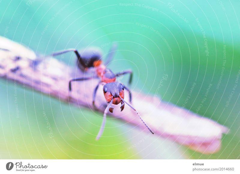 gegenüber Natur Tier Zweig Ameise Insekt Makroaufnahme beobachten Kommunizieren stehen gruselig klein Neugier trashig Tapferkeit Mut bizarr entdecken Kraft
