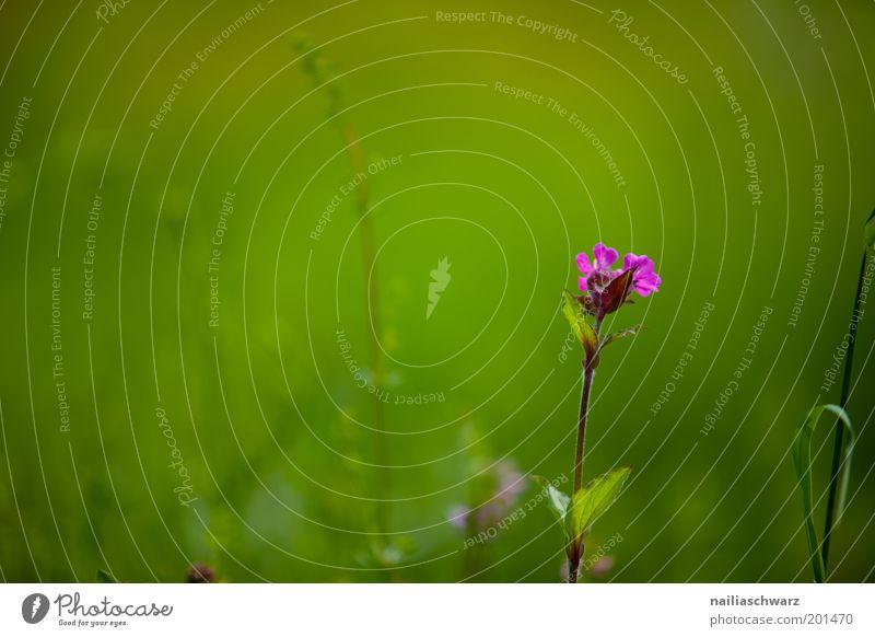 Frühlingsblume Umwelt Natur Pflanze Sommer Schönes Wetter Blume Gras Blüte Wiese ästhetisch Duft grün violett rosa Stimmung Umweltschutz Farbfoto mehrfarbig