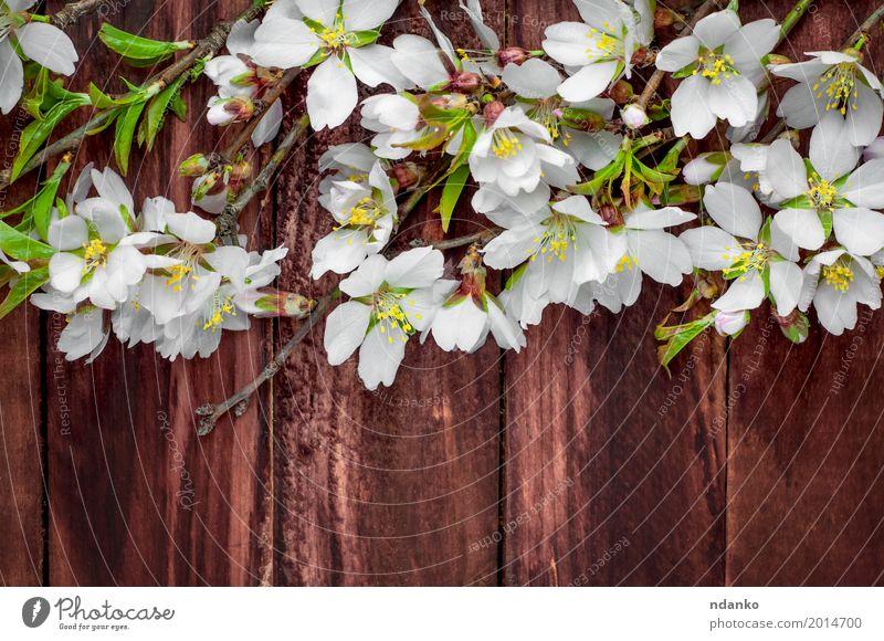 Blühende Mandelzweige auf einer braunen Holzoberfläche Natur Pflanze schön weiß Baum Blume Blatt Blüte natürlich rosa Frucht frisch retro Tisch