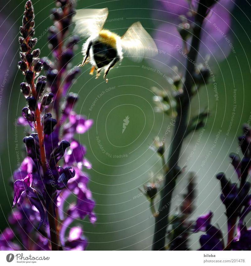 Sie fliegen wieder Pflanze Tier Blüte Garten Biene Flügel 1 gold grün violett Summen Schweben fleißig Sommer Farbfoto Bewegungsunschärfe Blume Menschenleer