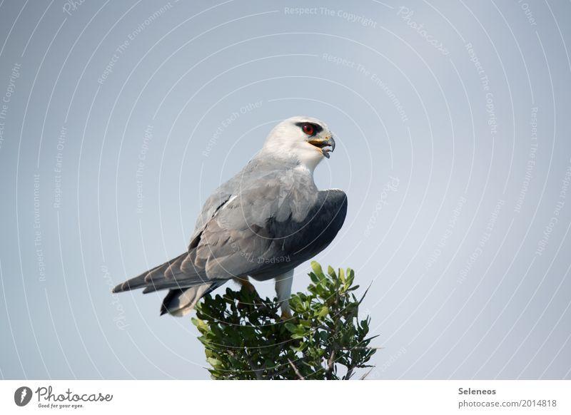 Mit Aargusaugen Safari Expedition Umwelt Natur Wolkenloser Himmel Baum Baumkrone Tier Wildtier Vogel Tiergesicht Flügel Greifvogel Habichte Habichtauge Schnabel