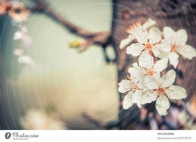 Kirschbaumblüten Lifestyle Design Garten Natur Pflanze Frühling Schönes Wetter Baum Blume Blatt Blüte Park Blühend weich rosa Duft Kirschblüten Frühlingsgefühle