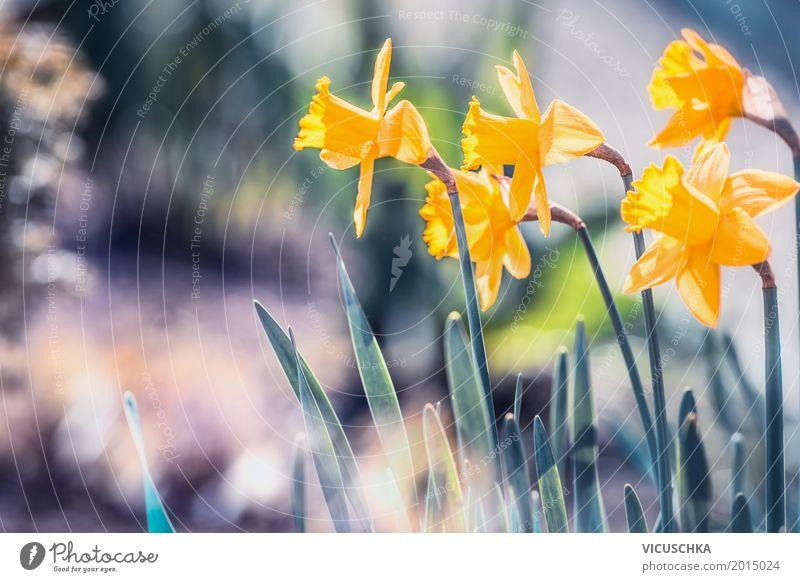 Schöne Narzissen im Garten Design Sommer Natur Pflanze Sonnenlicht Frühling Schönes Wetter Blume Blatt Blüte Park Blühend Liebe gelb Frühlingsgefühle Blumenbeet
