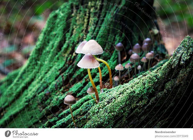 Pilze auf totem Holz Landwirtschaft Forstwirtschaft Natur Pflanze Herbst Klima Regen Baum Moos Park Wald Urwald Wachstum grün Leben Baumstumpf ökologisch