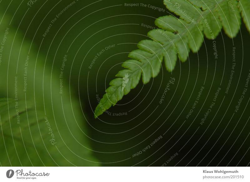 Annäherungsversuch Umwelt Natur Pflanze Frühling Farn Nutzpflanze Wildpflanze Wachstum grün Farbfoto Gedeckte Farben Außenaufnahme Nahaufnahme Detailaufnahme