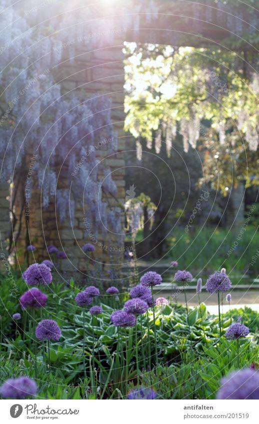 Romantik pur Ausflug Sommer Sonne Natur Pflanze Sonnenlicht Frühling Schönes Wetter Wärme Baum Blume Blüte Grünpflanze Ranke Fliederbusch Garten Park Wiese