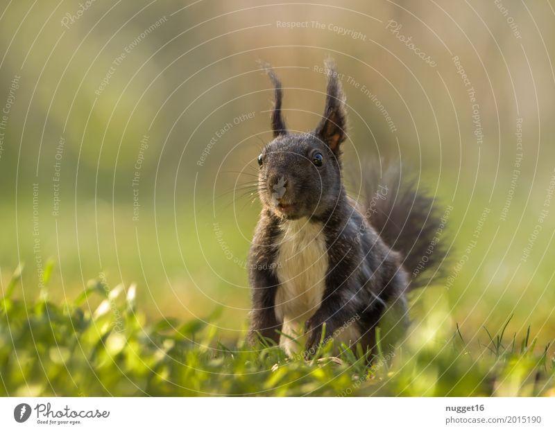 schwarzes Eichhörnchen Natur Sommer grün weiß Sonne Tier Wald schwarz Umwelt Leben gelb Herbst Frühling Wiese natürlich Gras