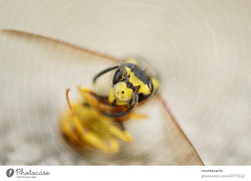 musik | ausgesummt Umwelt Natur Tier Wildtier Totes Tier Tiergesicht Flügel Wespen 1 Aggression bedrohlich dünn authentisch kalt klein listig nah natürlich wild