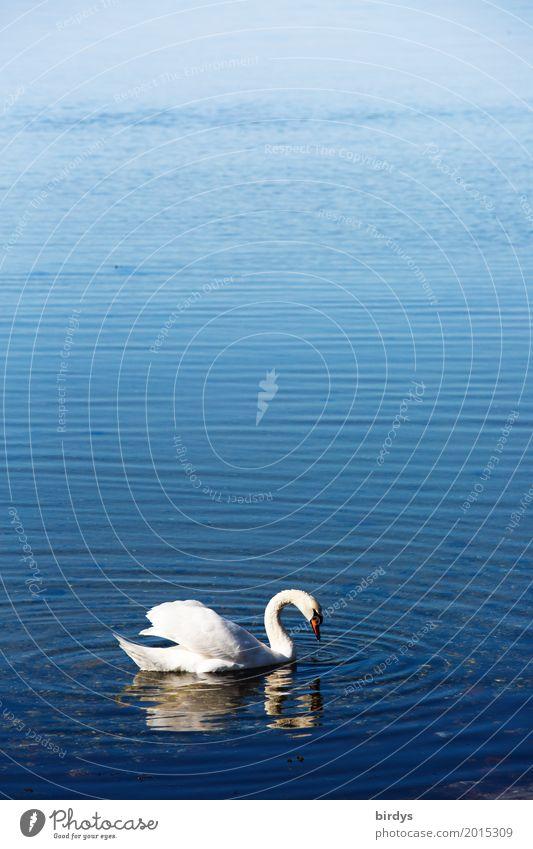 Küstenschwan Wasser Schönes Wetter Ostsee See Wildtier Schwan 1 Tier Schwimmen & Baden ästhetisch positiv schön blau weiß Romantik ruhig Freiheit Leichtigkeit