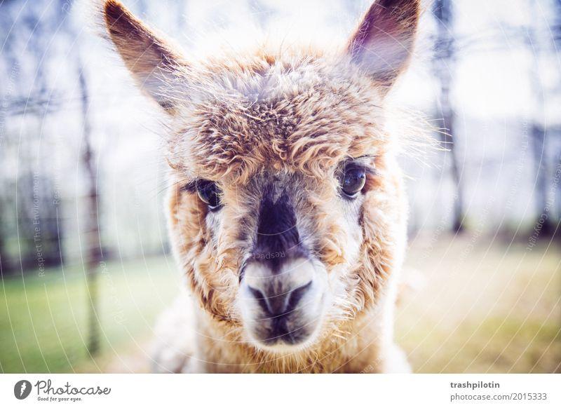 Alpaka Tier Haustier Nutztier Wildtier Tiergesicht Fell Zoo Streichelzoo 1 kuschlig niedlich Lebensfreude Farbfoto Außenaufnahme Unschärfe Tierporträt